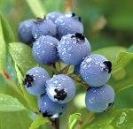 http://bartlettsblueberryfarm.com/BlueberryFacts.html